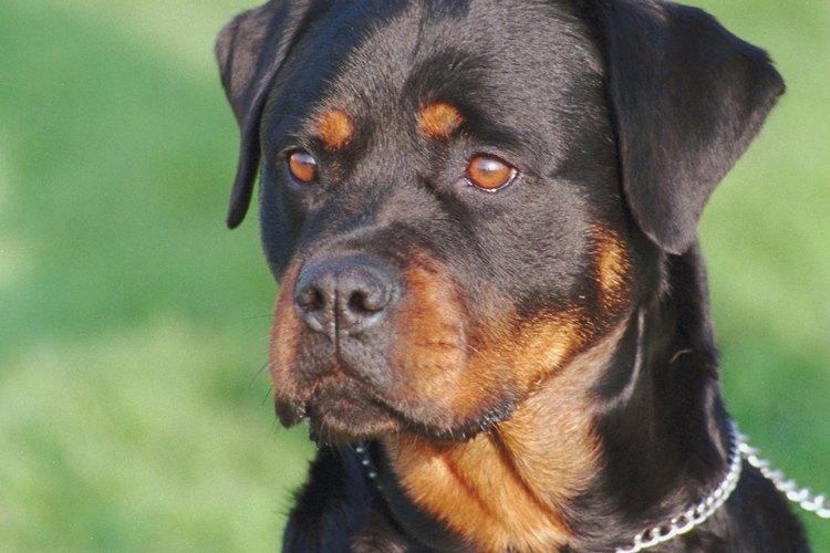 Estos perros tienen coloraciones similares, pero el cuerpo del rottweiler es más grueso.