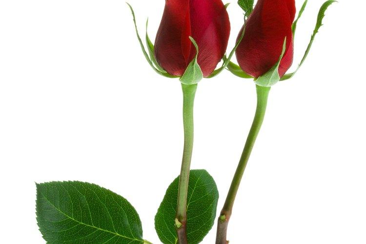 Las espinas son una característica de muchas plantas, incluyendo las rosas.