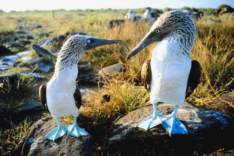 Los alcatraces patiazules están entre las especies endémicas de las islas Galápagos.