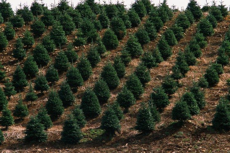 La tuya puede ser un arbusto o un árbol de gran tamaño.