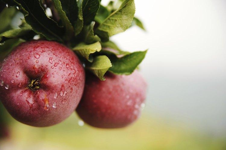 Los manzanos silvestres tienen espinas.