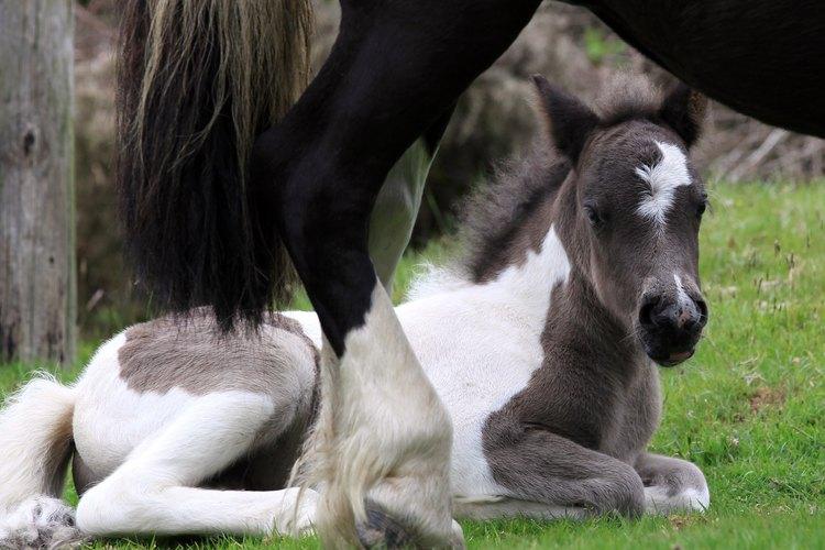 La crianza es mejor cuando la yegua y el semental son sanos.