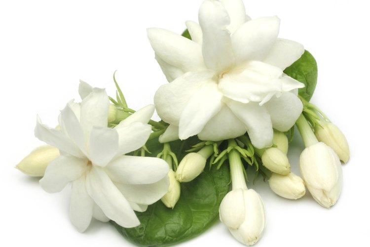 Las gardenias jazmín del cabo son flores perennes.