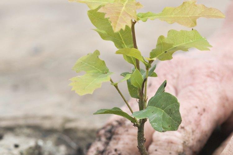 Manos plantando un árbol de roble.