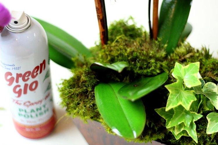 Rocía las hojas con un aerosol lustrador.