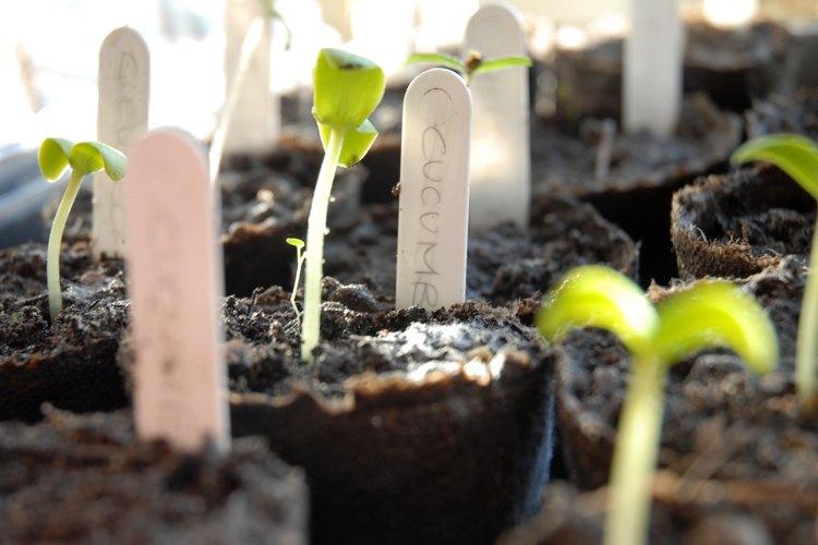 Una vez que tienes todo listo, debes conseguir semillas de buena calidad.