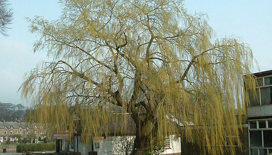 You can make a whistle from a willow tree branch.