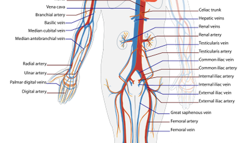 The cardiovasculary system distributes oxygenated blood and is the point of interaction for the heart and lungs.