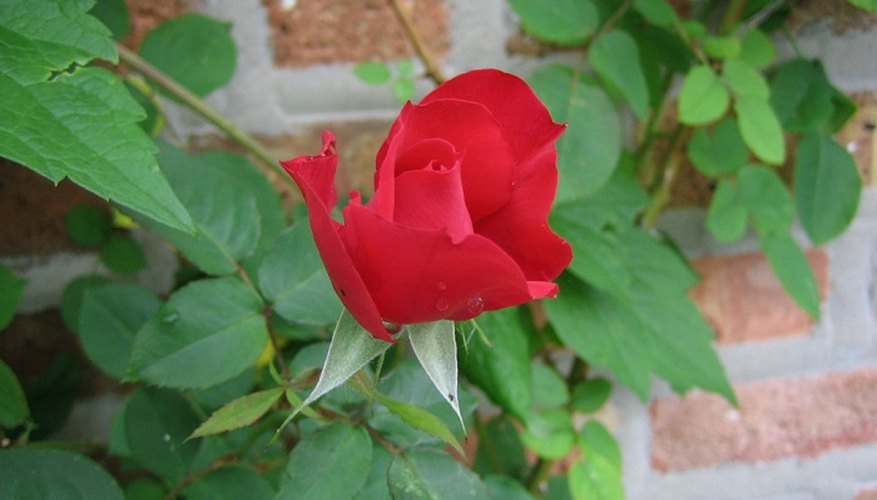 Train a rose plant to climb for a stunning and colourful display.