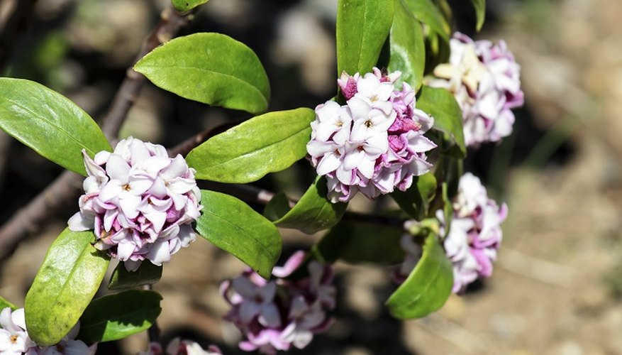 Daphnes don't tolerate water-logging or drought.