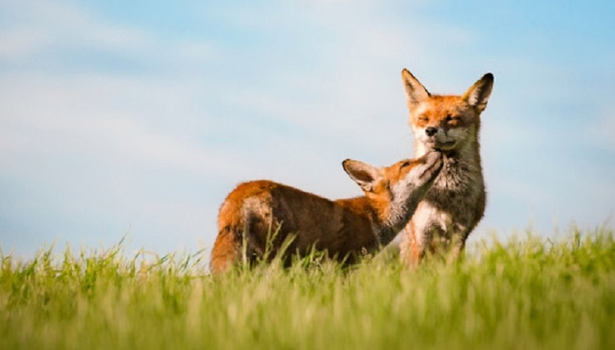 Foxes can make great pets, but do some research before making a commitment.