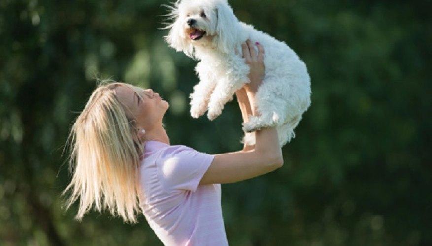 The cute and playful Maltese makes an ideal companion animal.