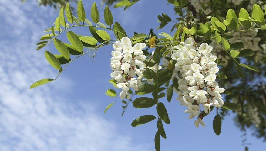Regular pruning will keep your Robinia pseudoacacia healthy.