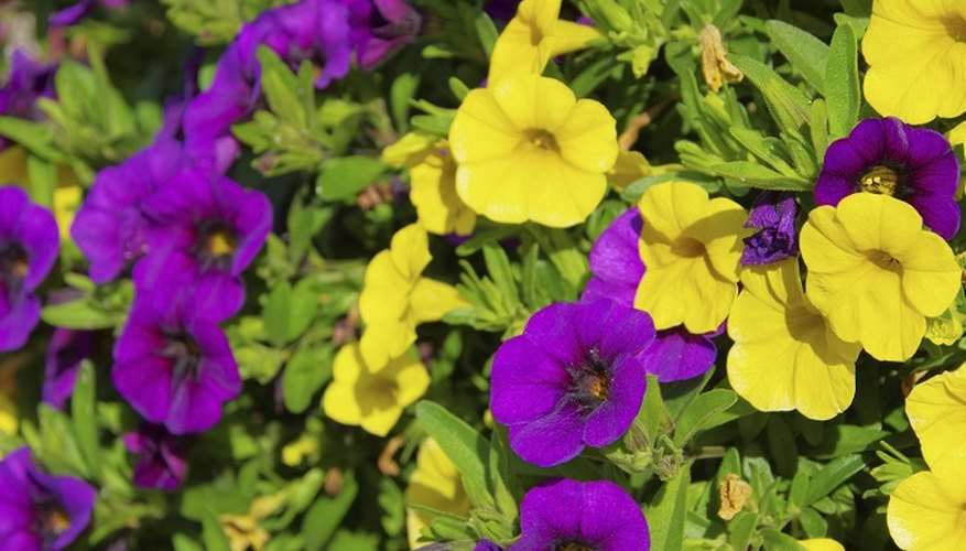 Petunias propagate relatively quickly from cuttings.