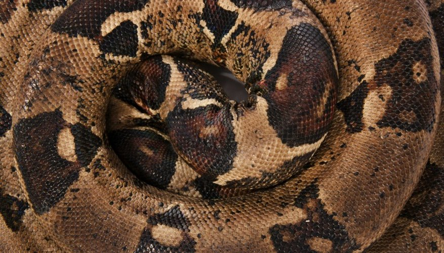 Boa constrictors are large snakes found in Central and South America.