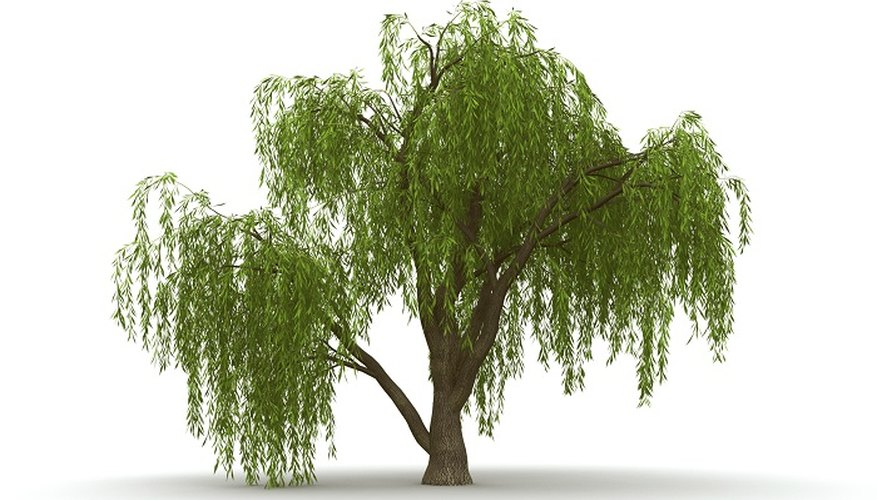Enjoy the elegance of the weeping willow in miniature form.