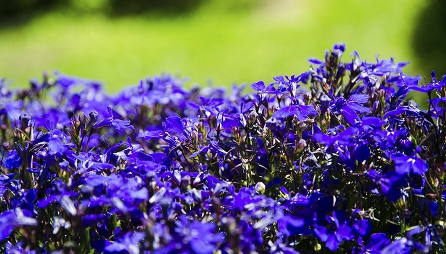 Cutting back lobelia encourages a second wave of colourful blossoms.