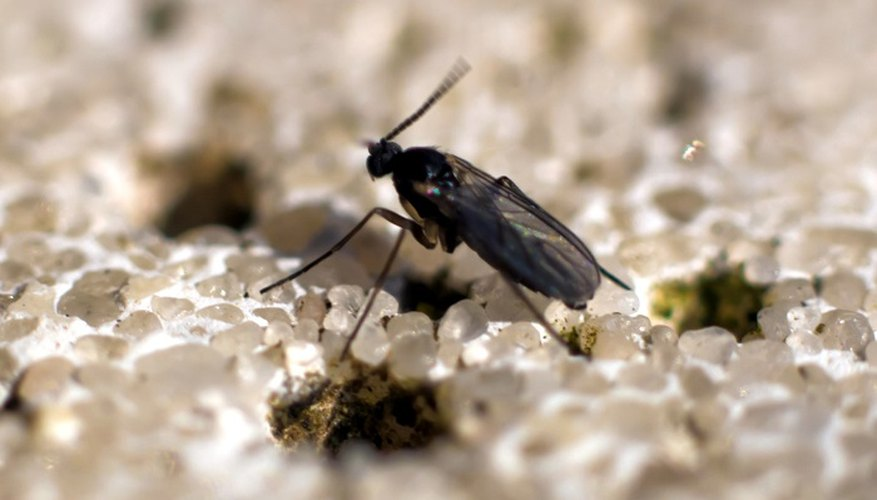 Small, black fungus gnats love indoor plants.