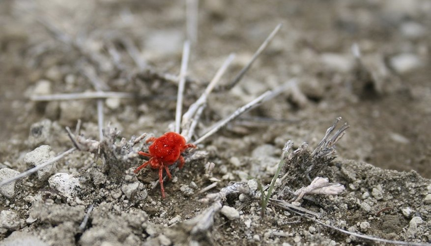 You may see little red mites running around on your patio.