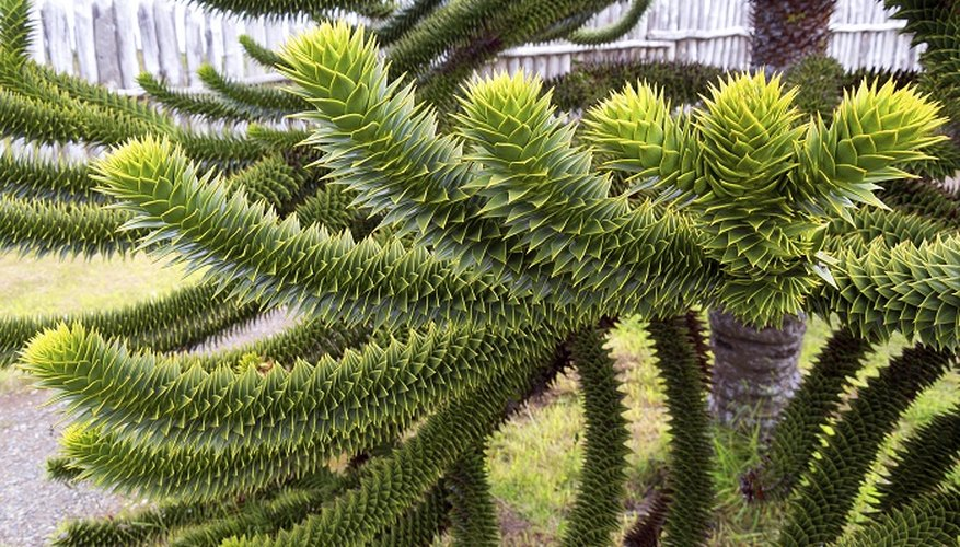Add an exotic monkey puzzle tree to your garden.