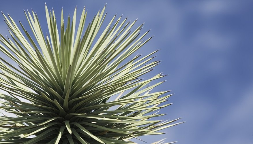 Give your garden an exotic look with a yucca plant.