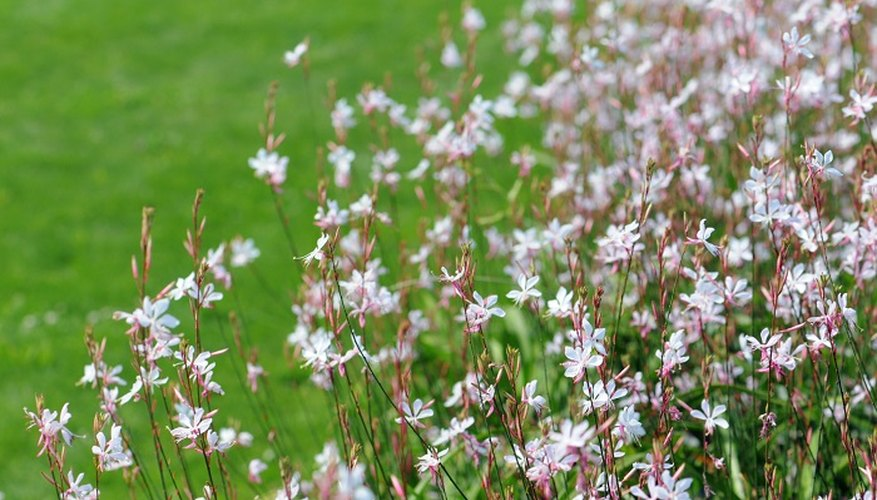 Prune gaura to keep the plant blooming successfully.