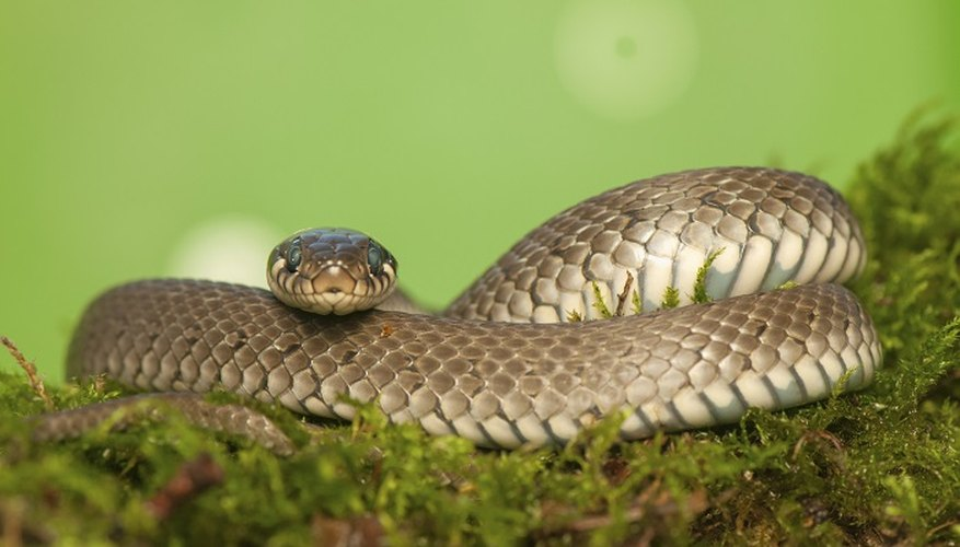 Grass snakes are not dangerous and normally shy away from humans.