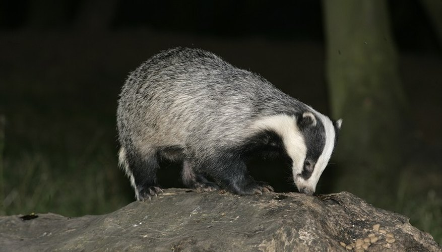 Large holes in your lawn are signs that badgers are active near your home.