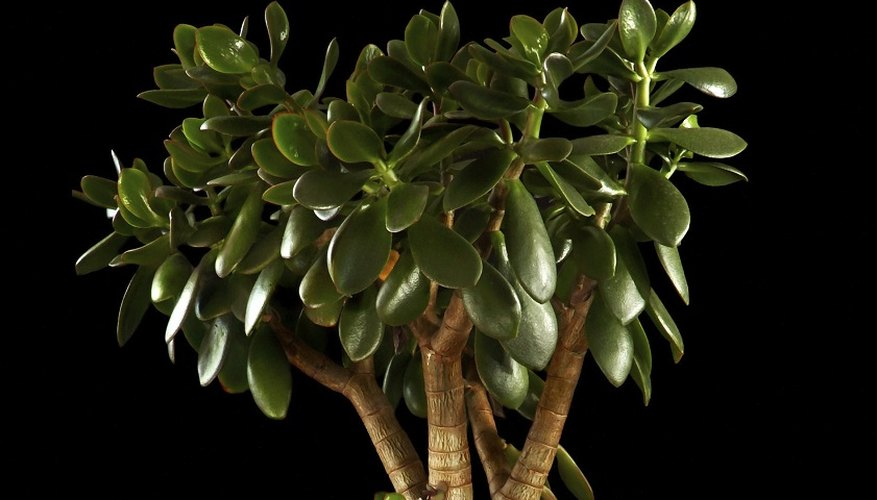 The money plant is an easy-to-grow succulent.