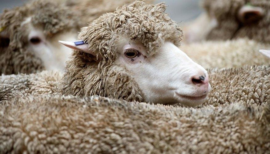 Merino sheep provide soft, fine wool.