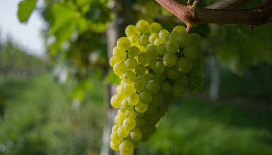 Proper care of grapevines stops them from turning brown.