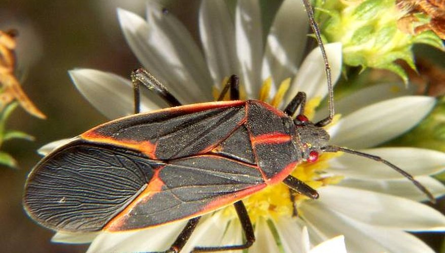 Mature boxelder bugs are only 1.2 cm (1/2 inch) in length.
