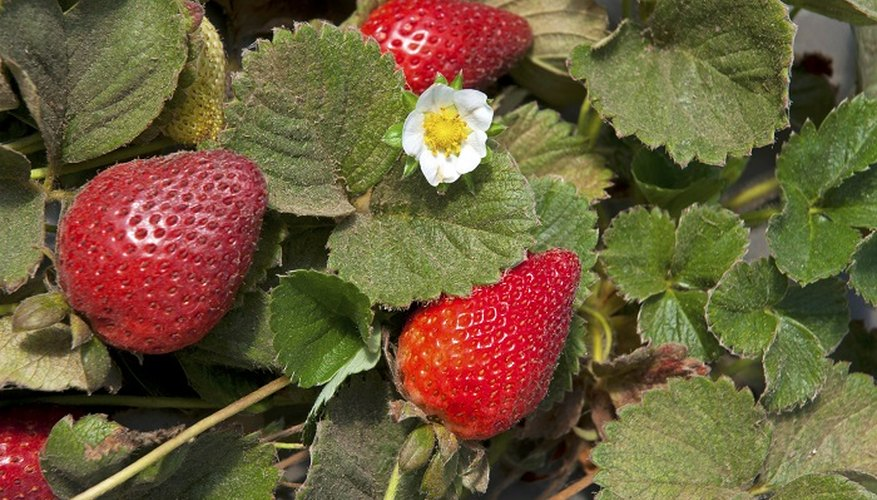 Brown leaves on strawberry plants are often caused by fungus in the soil.