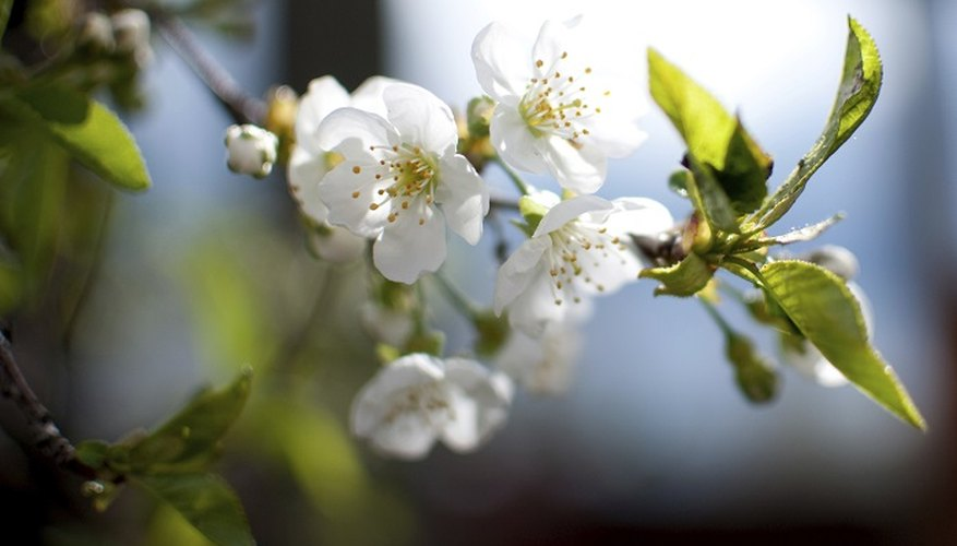 Proper pruning will keep your cherry tree in robust good health.