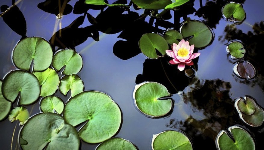 Soil-free plants keep your pond water clear.