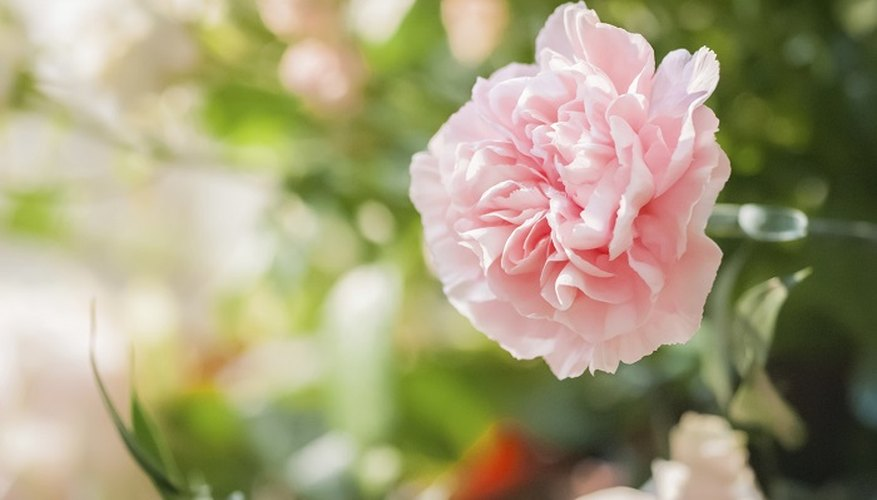 Occasional pruning will keep your carnations looking perky.