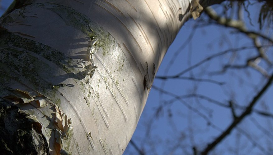 With their striking white bark, silver birches are beautiful all year long.