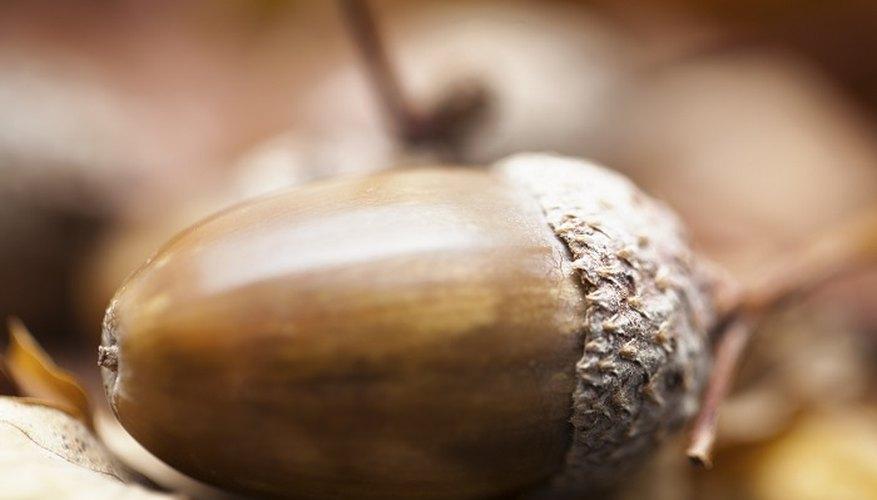 Oak trees grow from small acorns.