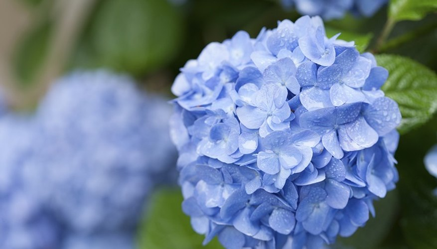Hydrangeas produce a big ball of blue, purple or pink flowers.