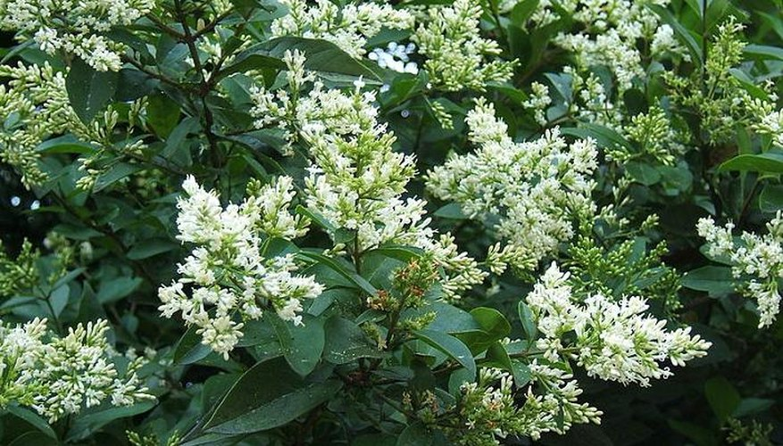 The oval-leaved privet is the UK's most common hedge plant.