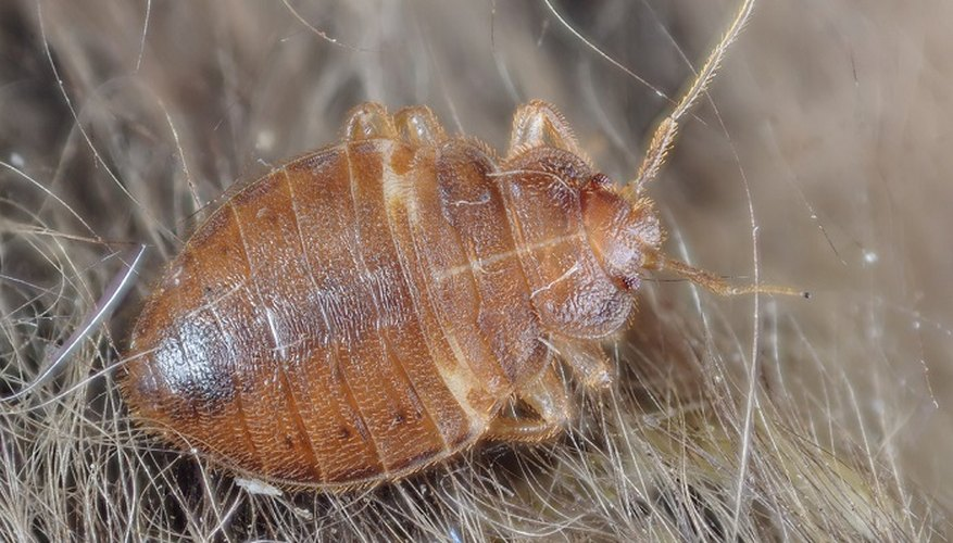 Bed bugs can also infest carpets and rugs in your home.
