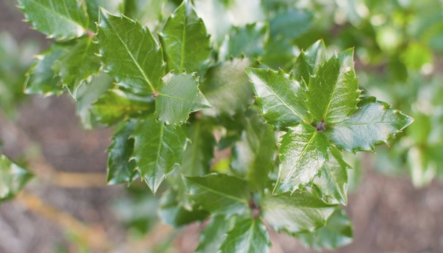 Holly bushes can crowd out other garden plants.