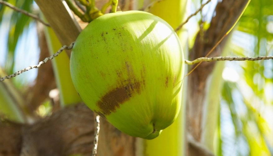 Coconut seeds are adapted to spreading the population of the tropical coconut palm.