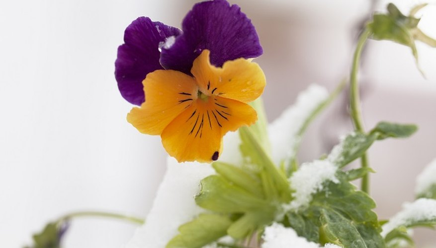 Pansies can survive ice and snow.