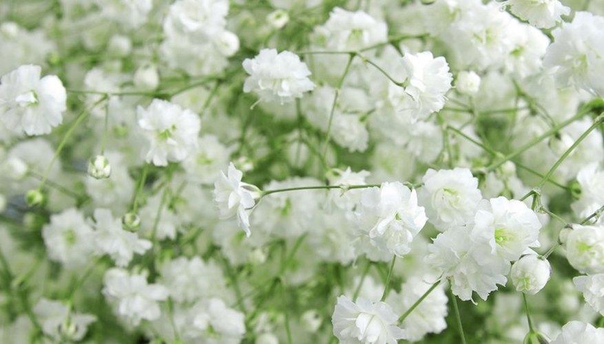Grow gypsophila in a pot or outside in your garden.