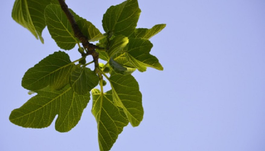 Fig trees came to northern Europe in the 15th century.
