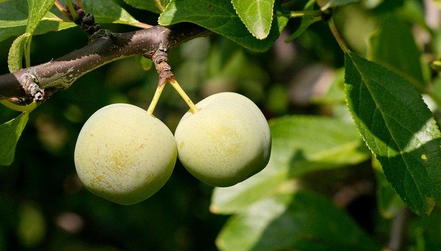 Regular pruning keeps your greengage tree health.