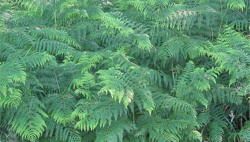 The Pteridium aquilinum is a common feature of British woodlands.