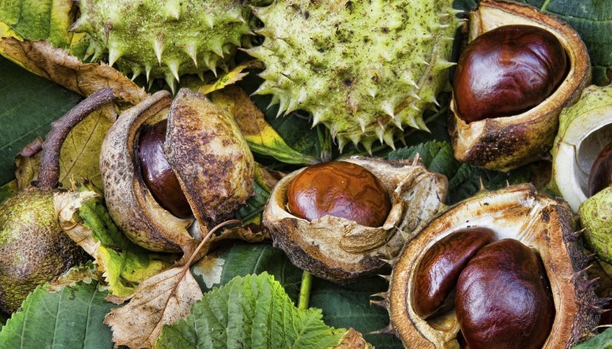 Use conkers to make Viking soap.