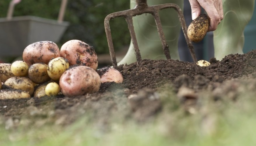 Potatoes are easy to grow and emerge from the soil rapidly in the home garden.